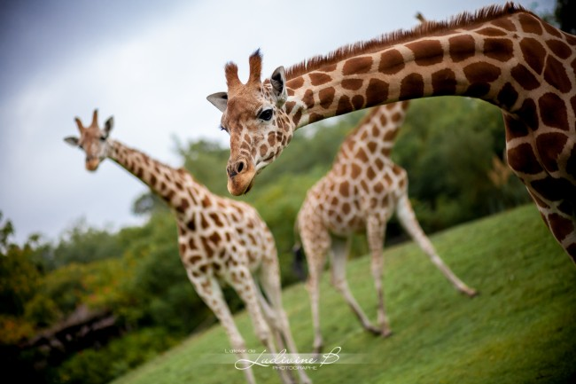 shooting mariage safari zoo louise valentine (5)